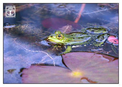 green frog, frog, edible frog, frog pond, frog water