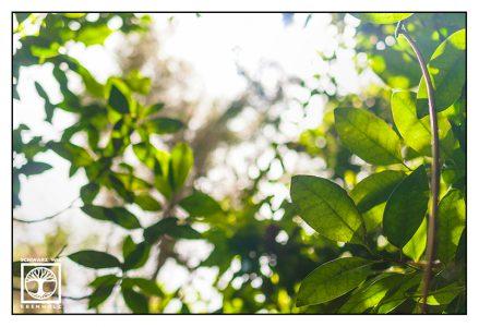 green leaves, los tilos, la palma