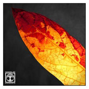autumn leaf, backlight leaf