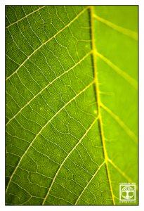 green leaf, leaf macro, point line area photography