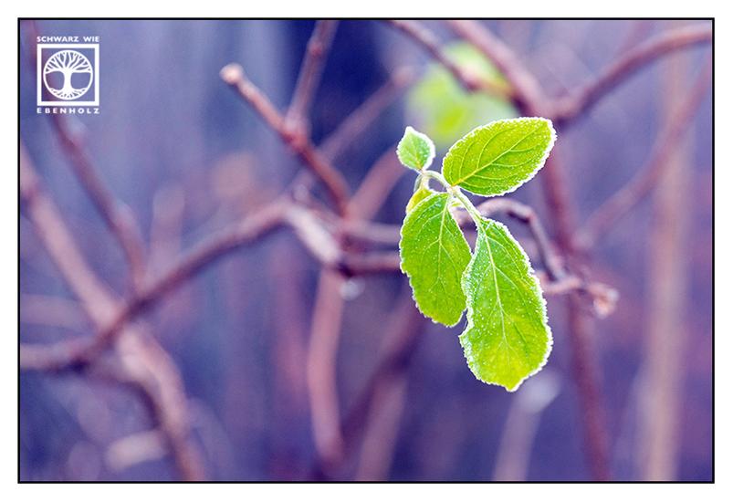 frost, hoar, frozen leaves