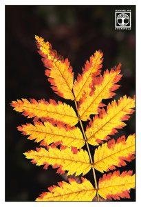 yellow leaf, yellow leaves, autumn leaf, autumn leaves, backlight leaf