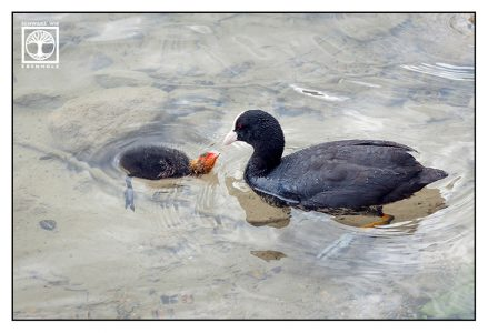 coot, coot family, coot chick, coot baby, baby bird