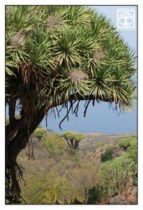 dragon trees, dragon tree, jungle, la palma
