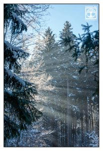 foggy forest, misty forest, winter trees, snowy trees, trees light winter