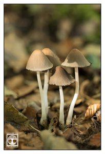 mushrooms, brown mushrooms