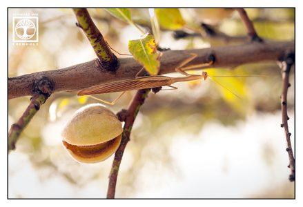 mantis, praying mantis, almond tree