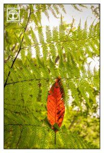 red leaf, orange leaf, autumn leaf, autumn, fern leaves