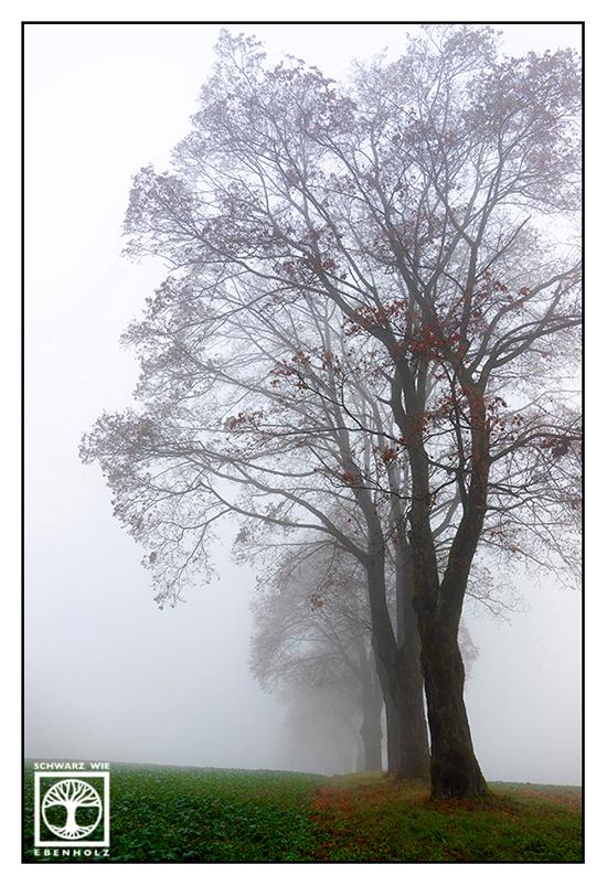 autumn trees, fog trees