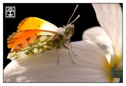 butterfly, orange tip, orangetip