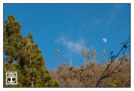 alien trees, aloe vera blossom, la palma