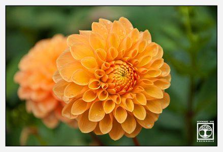 orange flower, orange flowers, dahlia, orange dahlia