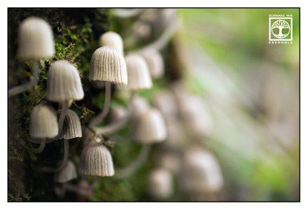 mushroom, mushrooms, white mushroom