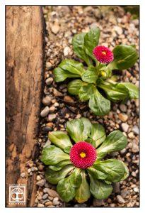 red flowers, red flower, red fluffy flower