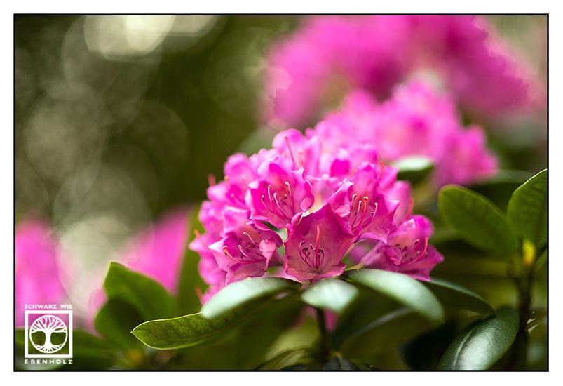 pink flower, pink flowers
