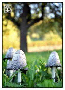mushrooms, coprinus comatus, shaggy ink cap