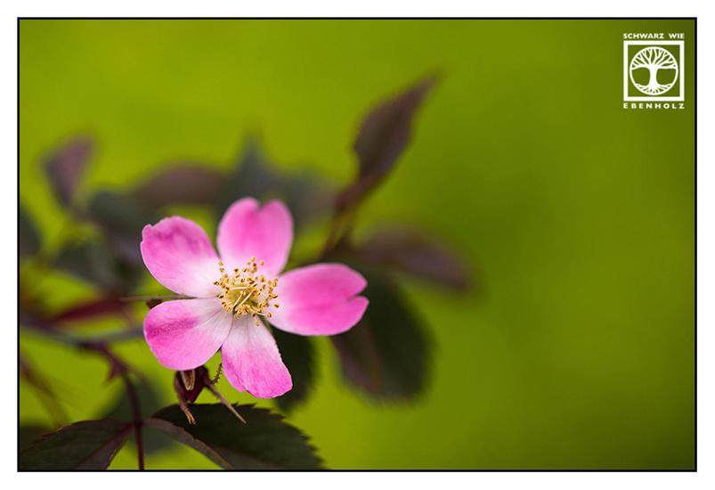 pink flower, rose hip, rose hip blossom
