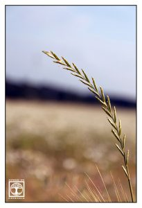 grass, corn, cornfield