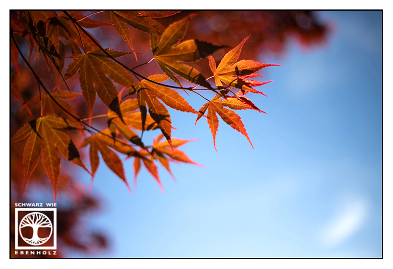 maple leaves, Japanese maple, red maple, red leaves red leaves maple leaves, autumn, autumn leaves