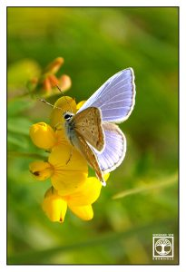 blue butterfly, silver-studded blue, Plebejus argus