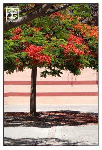 red blossom, red blossom tree, santa cruz de la palma