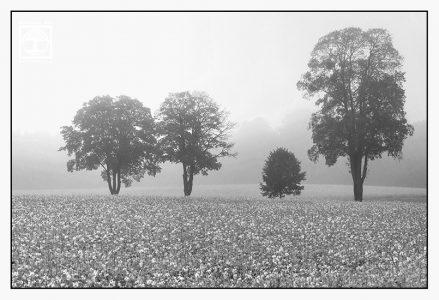 bäume schwarzweiss, Rapsfeld schwarzweiss