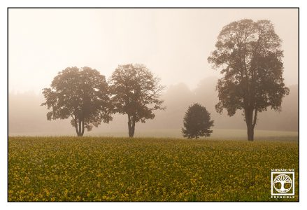 Rapsfeld nebel, bäume nebel, Feld nebel