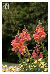 Löwenmäulchen, orange Löwenmäulchen, orange Blumen