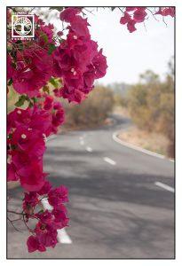 pink flowers, road, la palma