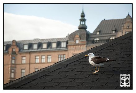 Stockholm, Sverige, Sweden, seagull, gull, gull rooftop, seagull rooftop, Gamlastan