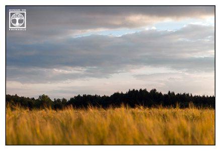 cornfield, wheat, summer, farming, countryside