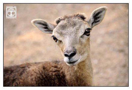 sheep, mouflon, moufflon