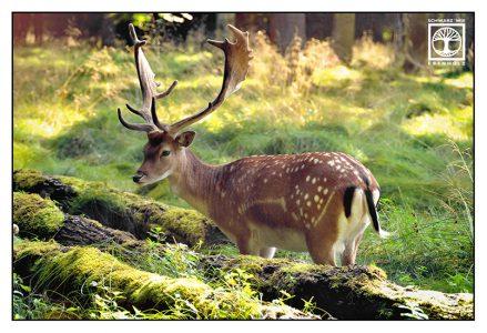 deer, stag, fallow deer, deer forest, stag forest