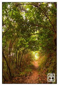 forest path, la palma, la galga, laurel forest