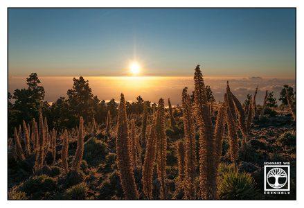 La Palma, caldera, caldera de taburiente, roque de los muchachos, Echium wildpretii, red bugloss, tower of jewels