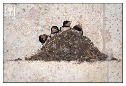 swallow, swallow nest, bird nest