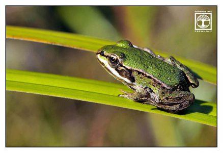 baby frog, frog, green frog, skiing frog