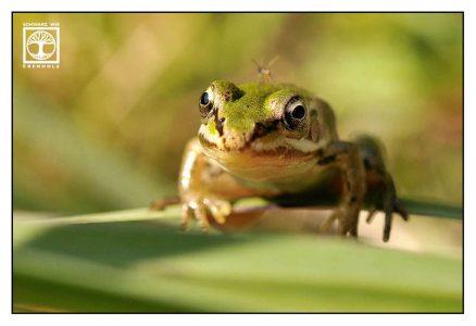 baby frog, frog, green frog