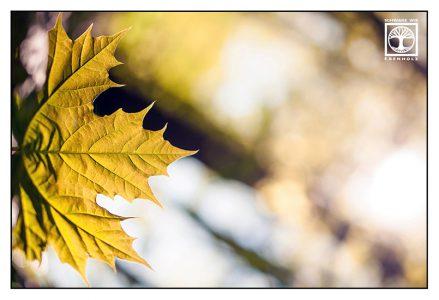 maple leaf, autumn leaf, yellow leaf, autumn, fall, yellow maple leaf