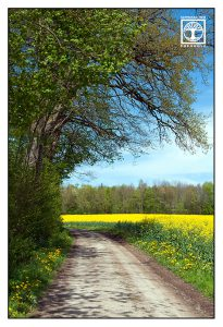 canola field, spring road, countryside, rural landscape