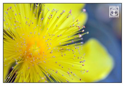yellow flower, summer flower, fluffy yellow flower