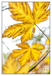 autumn leaves, autumn leaf, yellow leaves, yellow leaf, maple leaves, maple leaf