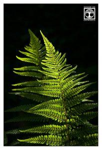 fern, fern leaves, fern leaf, backlight leaves