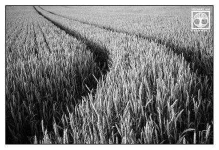 abstrakte fotografie, punkt linie fläche fotografie, linie fotografie, Weizenfeld, schwarzweiss