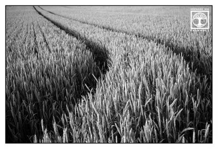 point line area photography, abstract photography, abstract photo, lines, cornfield, wheat, blackandwhite, black and white photography