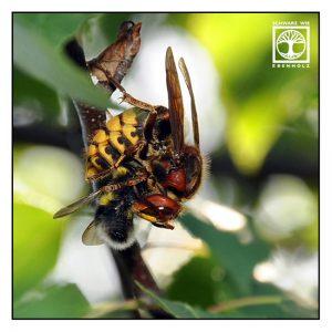 hornet, hornet eating bee