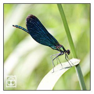 dragonfly, blue dragonfly