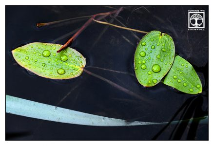 green leaves, water lily, leaves droplets