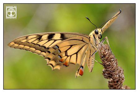 yellow butterfly, yellow swallowtail, Papilio machaon