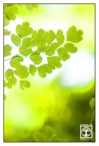 fern leaves, fern leaf, green leaves, backlight leaves